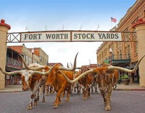 fort-worth-herd-cattle